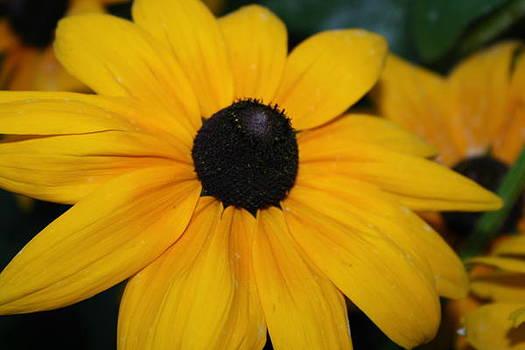 Sunshine Daisies by Devon Stewart
