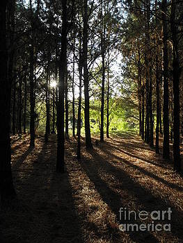 Sunshine through the pines by Cindy Hudson