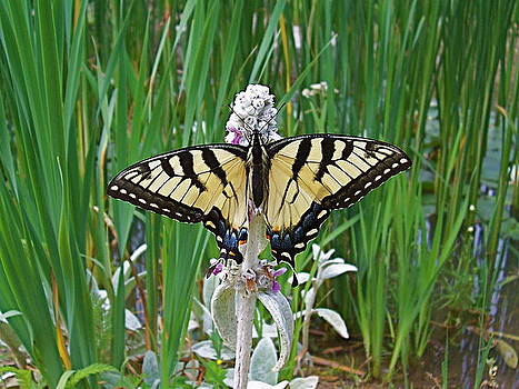 Swallowtail on Lambsear by Sally Hanrahan