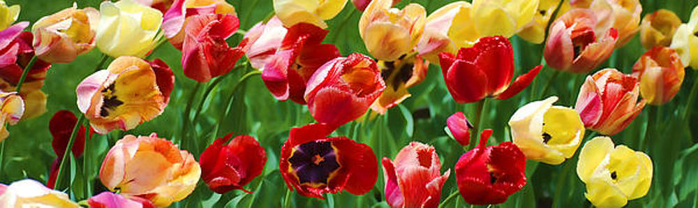 The Glory of Tulips by Peggie Strachan