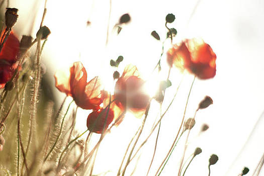 The Last Poppies of Summer 2 by Max Blinkhorn