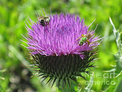 Thistle by Ida Brown