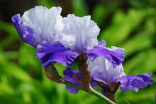Three Irises in Purple and White by Wanda Jesfield