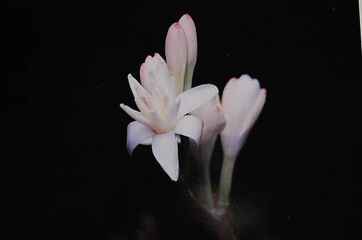 Tuberose 2 by Paul Thomley