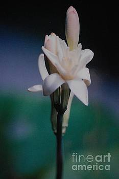 Tuberose by Paul Thomley