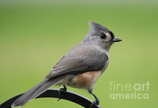 Tufted Titmouse by Theresa Willingham