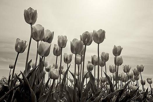 Tulips by Steve Blair