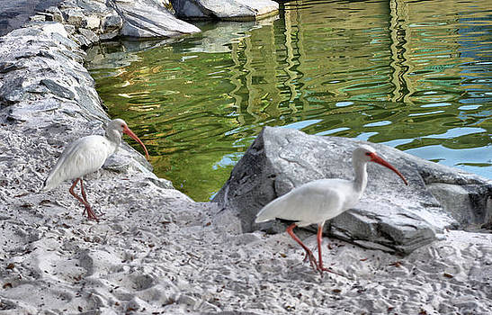 Two Ibis by Thomas  MacPherson Jr