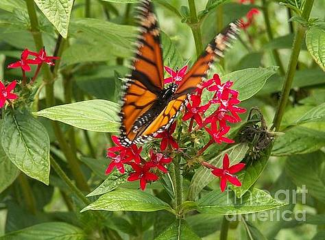Viceroy Butterfly on Pentas by Theresa Willingham