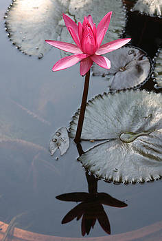 Waterlily III by Gonca Yengin