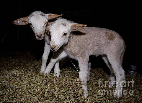 Week-Old Lamb Twins by Warren Sarle