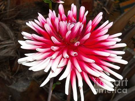 White and Fuschia Flower by Liliana Ducoure