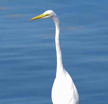 White Florida Crane by Thomas  MacPherson Jr