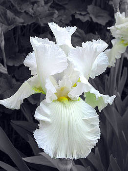 White Iris by Alan Rutherford