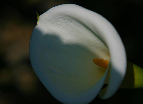 White Lily by Sonia Rodriguez