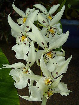 White Orchids by Kelly Luquer