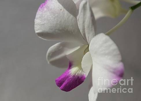 White Phalaenopsis by Theresa Willingham