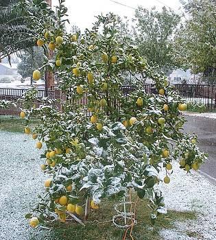 Winter Lemons by Jonathan Barnes