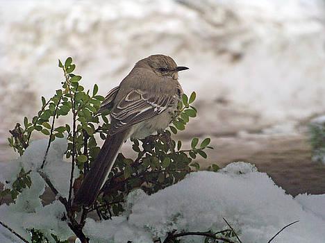 Winter Mockingbird by Stephen Janko