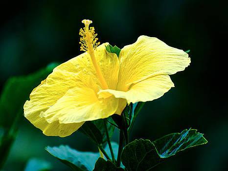 Yellow Hibiscus by Walt Jackson