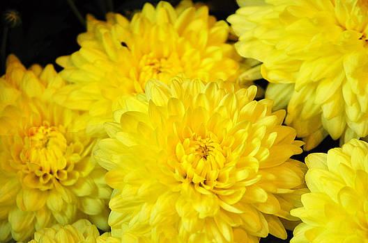 Debra  Miller -  A yellow chrysanthemum symbolizes slighted love