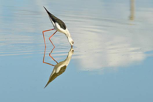 Black winged stilt reflection by Shawn  Miller