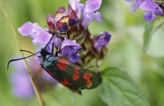 Martina Fagan -  Burnet Moth