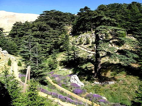 Cedar Of Lebanon by Therese AbouNader