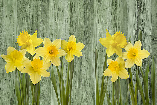 Fresh Spring Daffodils by Gillian Dernie