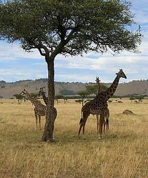 Giraffes by Siddarth Rai