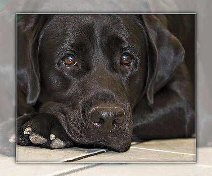 Labrador Retriever A1a by Walter Herrit