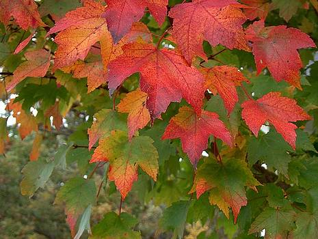 Maple Leaves in Macoupin County by Denise   Hoff