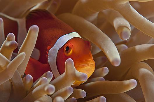 Ocellaris Clownfish Nemo by Shawn  Miller