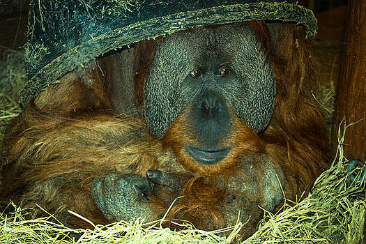 Orangutan 1 by Angela Moreau