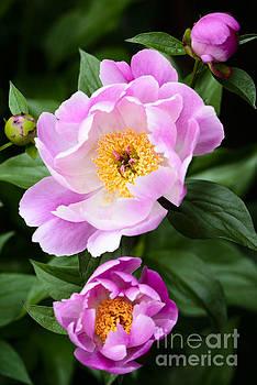 Oscar Gutierrez -  Pink peony flower with buds