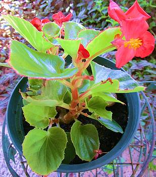 Red And Green Begonia Plant by Trudy Brodkin Storace