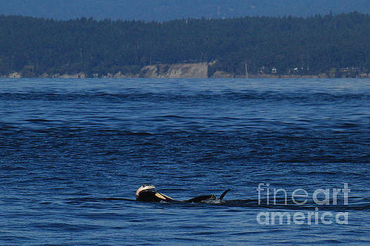 California Views Mr Pat Hathaway Archives -  Southern Resident Orcas and Salmon off the San Juan Islands playing with Salmon