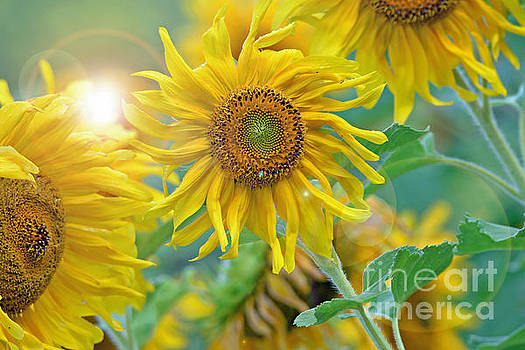 Sunflower by Lila Fisher-Wenzel