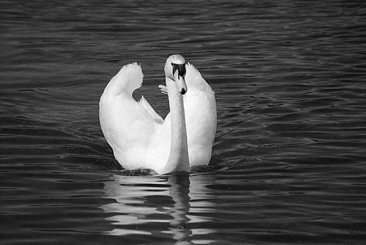 Michelle  BarlondSmith -  Swan In Black and White