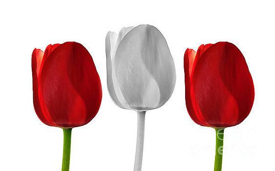 3 Tulips by Brian Mollenkopf