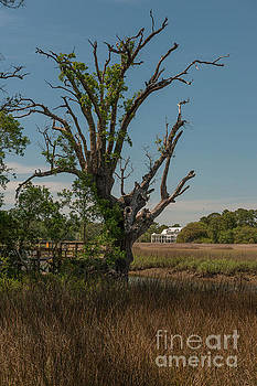 Dale Powell - Daniel Island Mystic Marsh Tree
