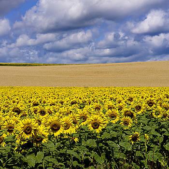 BERNARD JAUBERT - A field of Sunflowers . Auvergne. France