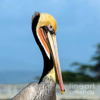 A Pelican Posing by Susan Wiedmann