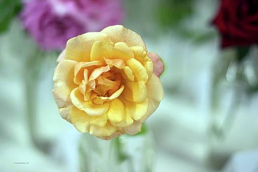A Rose is a Rose by Edward Congdon