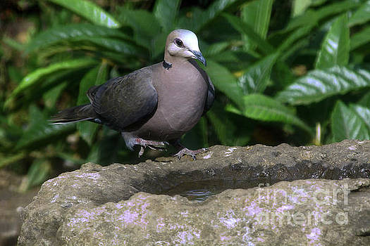 African Collared Dove by Morris Keyonzo