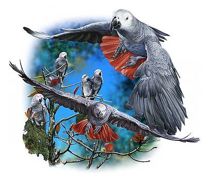 African Grey Parrots by Owen Bell