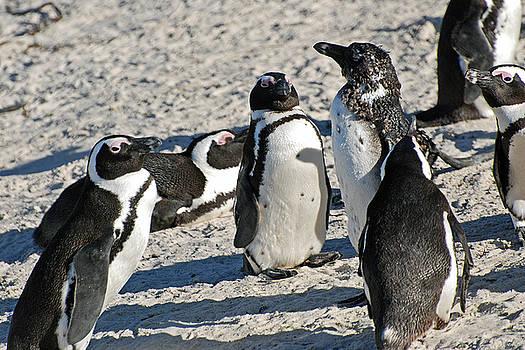 Harvey Barrison - African Penguin Study Number Six