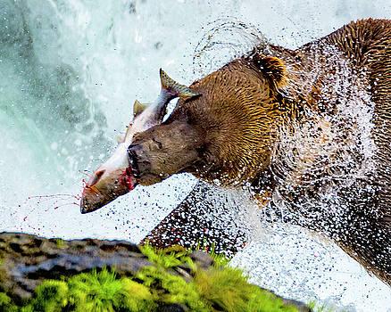 Alaska Brown Bear by Norman Hall