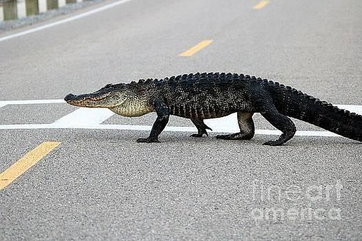 Paulette Thomas - Alligator Crossing