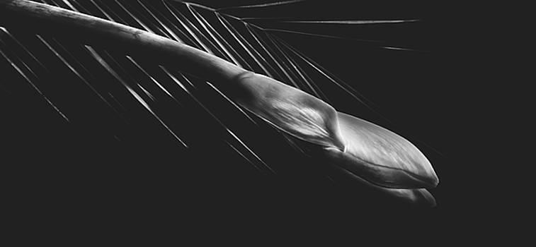 Amaryllis by Pixabay
